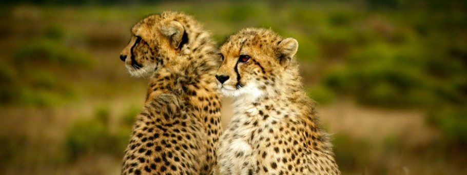 guepard safari afrique du sud au cap - cape town big 5